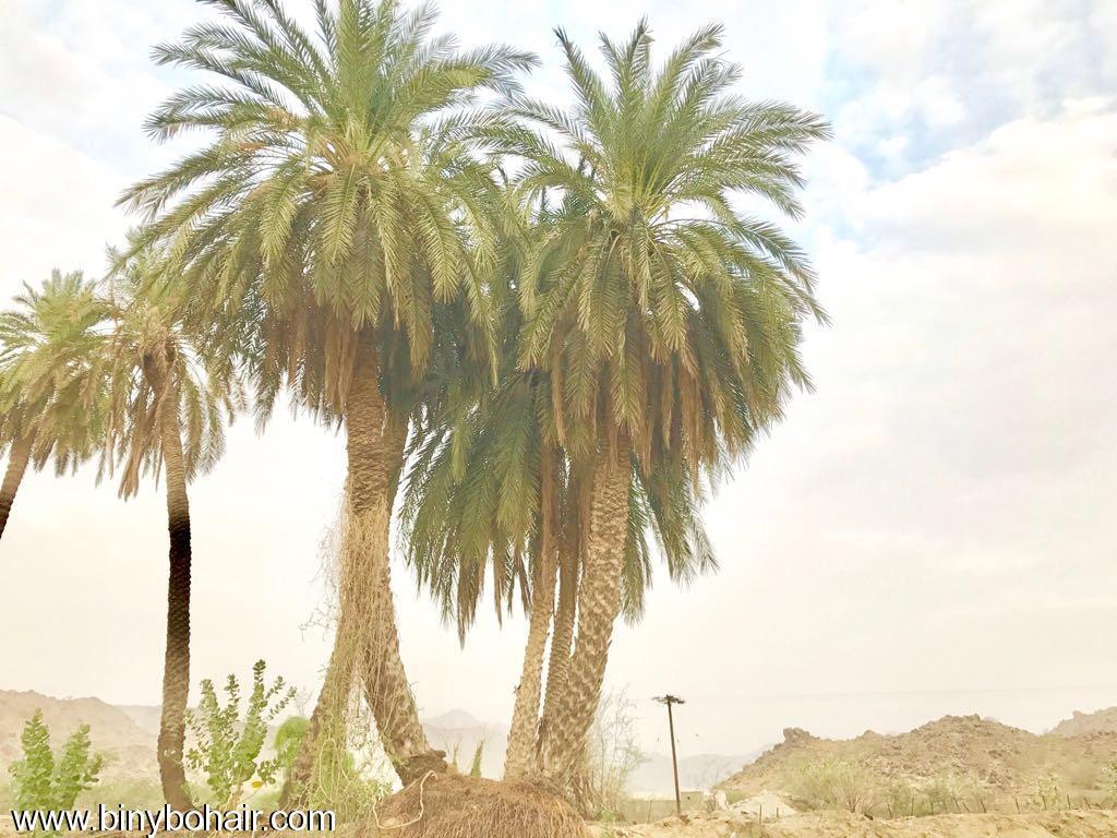 """بالصور ..وادي قنونا"""" نخيل وغدير ddr46085.jpg"""